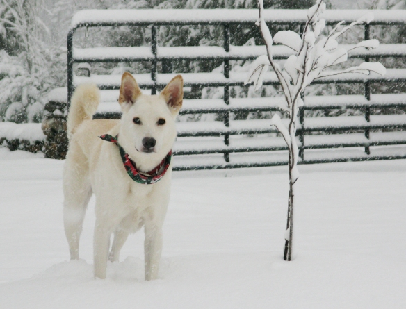 My dog Chappie in the snow