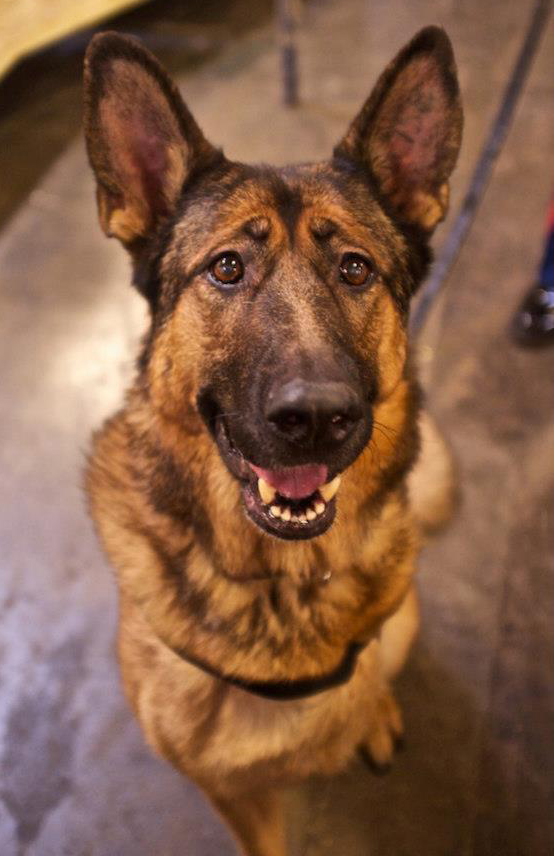Lucca the hero war dog