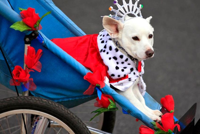 Rose Parade Pup on Bike