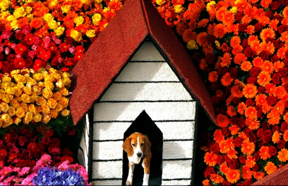 Beagle on HGTV's Rose Parade float