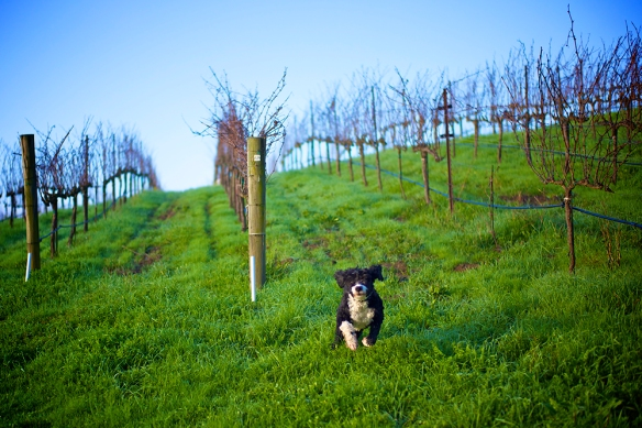 Robert Sinskey Vineyard resident dog