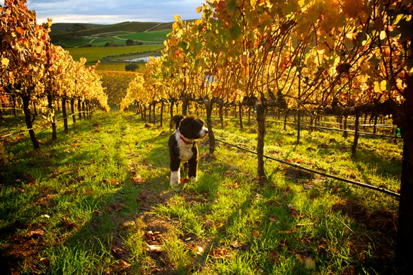 Robert Sinskey Vineyard and Dog