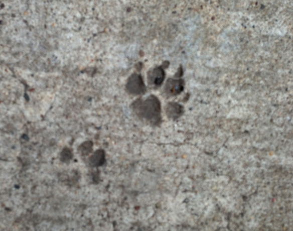 Paws in NY concrete