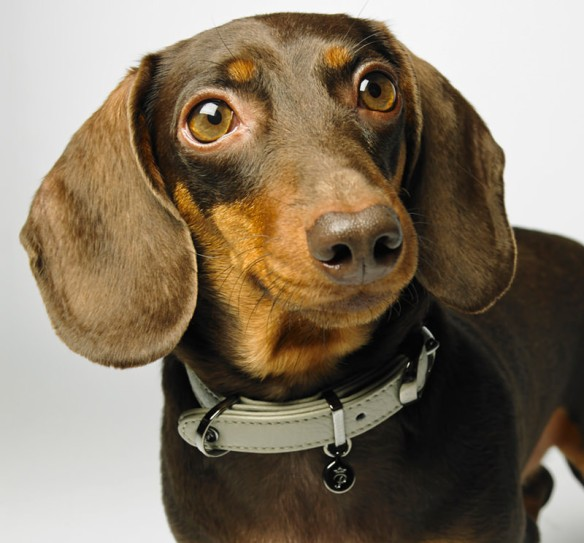 Handsome doxie wearing Pantofola Mezzanotte collar in Luna