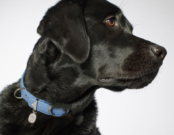 Black Lab wearing Pantofola Caramelle collar in Cielo
